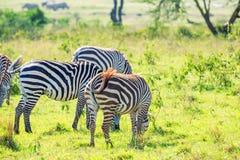 Зебры пася в саванне Стоковое Изображение