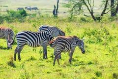 Зебры пася в саванне Стоковое Фото