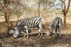 Зебры пася в Сенегале Стоковое Изображение RF