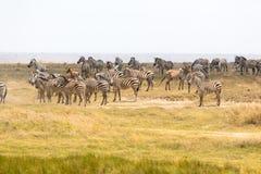 Зебры пася в Танзании Стоковое фото RF