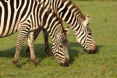 2 зебры пася в Maasai Mara Стоковые Изображения