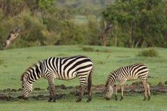 Зебры пася в Maasai Mara Стоковые Изображения
