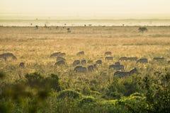 Зебры пася на африканской саванне в утре, Кении Стоковые Изображения