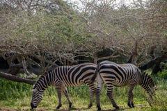 2 зебры пася на зеленом луге Стоковое Изображение RF