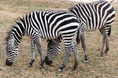 2 зебры пася на зоопарке Стоковое Фото