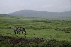 Зебры пася на кратере Ngorongoro Стоковые Изображения