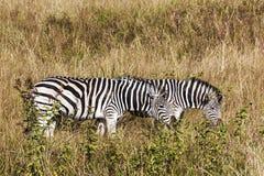 Зебры пася на сухой траве зимы в заповеднике Стоковые Фото