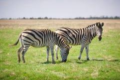 2 зебры пася на траве Стоковое фото RF