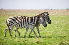 2 зебры пася на траве Стоковая Фотография