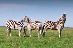 3 зебры пася на траве Стоковое фото RF