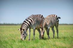 2 зебры пася на траве Стоковые Фотографии RF