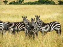 Зебры пася на траве Стоковое Фото
