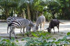 Зебры пася траву с запачканной предпосылкой в зоопарке Стоковое Изображение