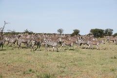 зебры переселения Стоковые Изображения RF