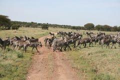 зебры переселения Стоковое Фото
