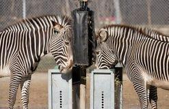 Зебры подавая на зоопарке Brookfield Стоковая Фотография RF