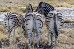 Зебры показывая их задние стороны на саванне национального парка Etosha, Намибии, Африки Стоковые Фотографии RF
