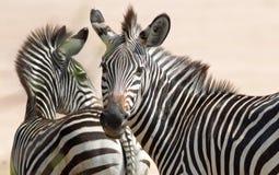 Зебры равнин с предпосылкой равнин, одна зебра смотрят сразу в камеру Южный парк Luangwa Natinal, Замбия Стоковые Изображения