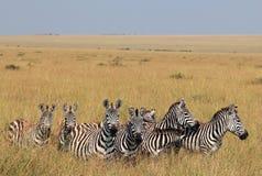 Зебры равнин Стоковые Изображения RF