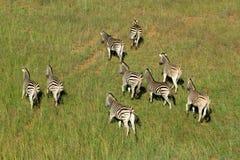 Зебры равнин Стоковые Фото
