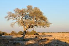 Зебры рано утром на waterhole Okaukeujo Стоковые Изображения RF