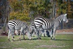 зебры сафари Стоковые Фото