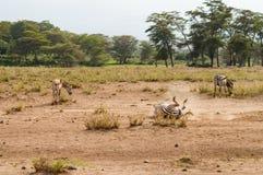 Зебры свертывая в пыли в саванне Amboseli паркуют в k Стоковое Фото