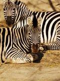 2 зебры сидя крупный план Стоковые Фото