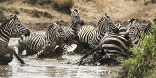 Зебры скакать в реке, Serengeti, Танзании Стоковое Фото