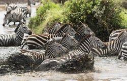 Зебры скакать в реке, Serengeti, Танзании Стоковые Фотографии RF