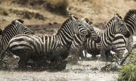 Зебры скакать в реке, Serengeti, Танзании Стоковая Фотография