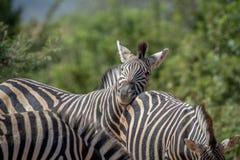 Зебры скрепляя в Marakele Стоковое Изображение RF
