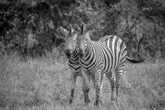 2 зебры скрепляя совместно в Kruger Стоковое фото RF
