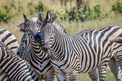 2 зебры скрепляя в национальном парке Chobe Стоковые Фото