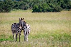 2 зебры скрепляя в траве Стоковая Фотография RF