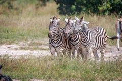 3 зебры скрепляя в траве Стоковая Фотография