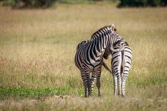 2 зебры скрепляя в траве Стоковые Фотографии RF