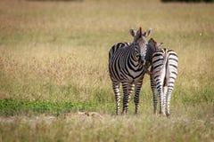 2 зебры скрепляя в траве Стоковое Изображение RF