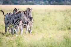 3 зебры скрепляя в траве Стоковые Фото