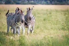3 зебры скрепляя в траве Стоковые Изображения RF