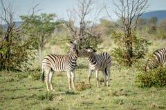 2 зебры скрепляя в траве Стоковое Фото