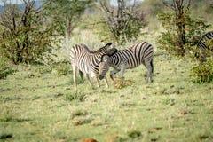 2 зебры скрепляя в траве Стоковое Изображение