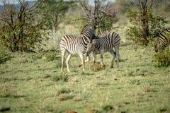 2 зебры скрепляя в траве Стоковые Фото