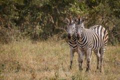2 зебры скрепляя в траве Стоковая Фотография
