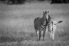 2 зебры скрепляя в черно-белом Стоковые Изображения
