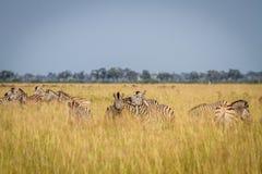 2 зебры скрепляя в Chobe Стоковые Изображения