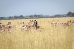 2 зебры скрепляя в Chobe Стоковое Изображение RF