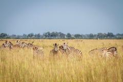 2 зебры скрепляя в Chobe Стоковая Фотография
