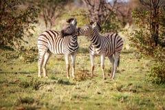 2 зебры скрепляя в Etosha Стоковое фото RF