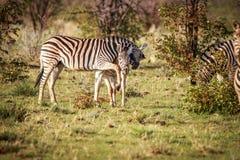 2 зебры скрепляя в Etosha Стоковые Изображения RF